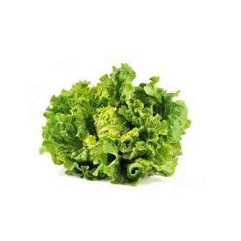 Salades, herbes aromatiques-Batavia biologique verte-RONAN LE GALL