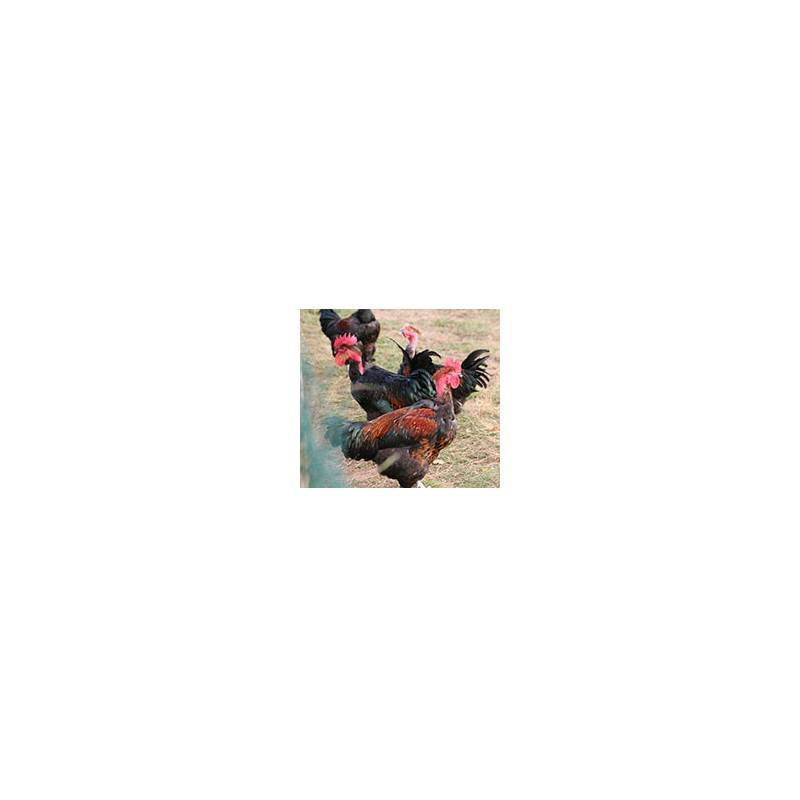 Viandes et Charcuterie-Poulet Cou nu Noir - de 1.5 à 1.8 Kg-FERME HAIE DUVAL