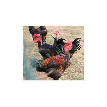 Poulet fermier cou nu noir - de 2.2. à 2.6 Kg
