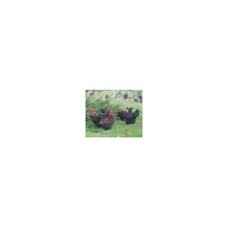 Viandes et Charcuterie-Poulet Cou nu Noir - de 1.8 à 2.2 Kg-FERME HAIE DUVAL