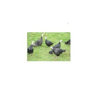 viandes festives-Dinde noire (8pers) Haie Du Val- 3.3 à 3.7 Kg-FERME HAIE DUVAL