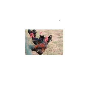 Volailles festives : Chapons, Dindes et pintades-Chapon (8 pers) Haie Du Val- 3.00 à 3.5 kg-FERME HAIE DUVAL