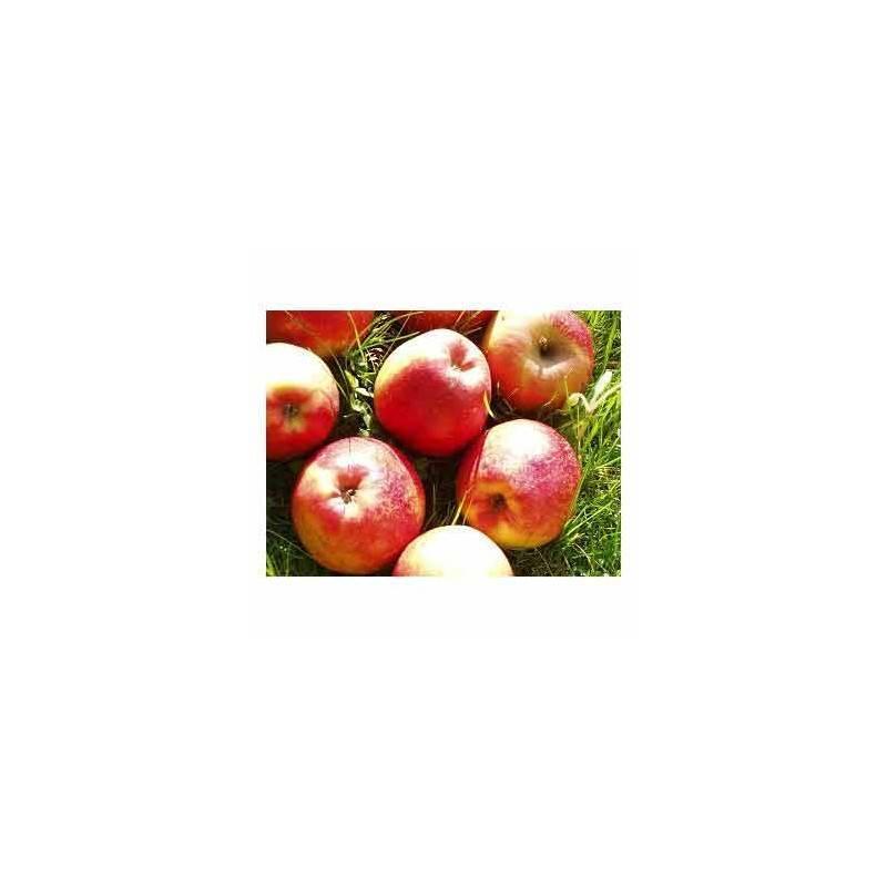 Pommes, poires et kiwis-Pomme royal red bio - Kg-BIO RENNES