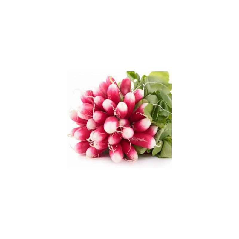 Fruits et légumes-Radis rose- la botte-SUBERY NON BIO