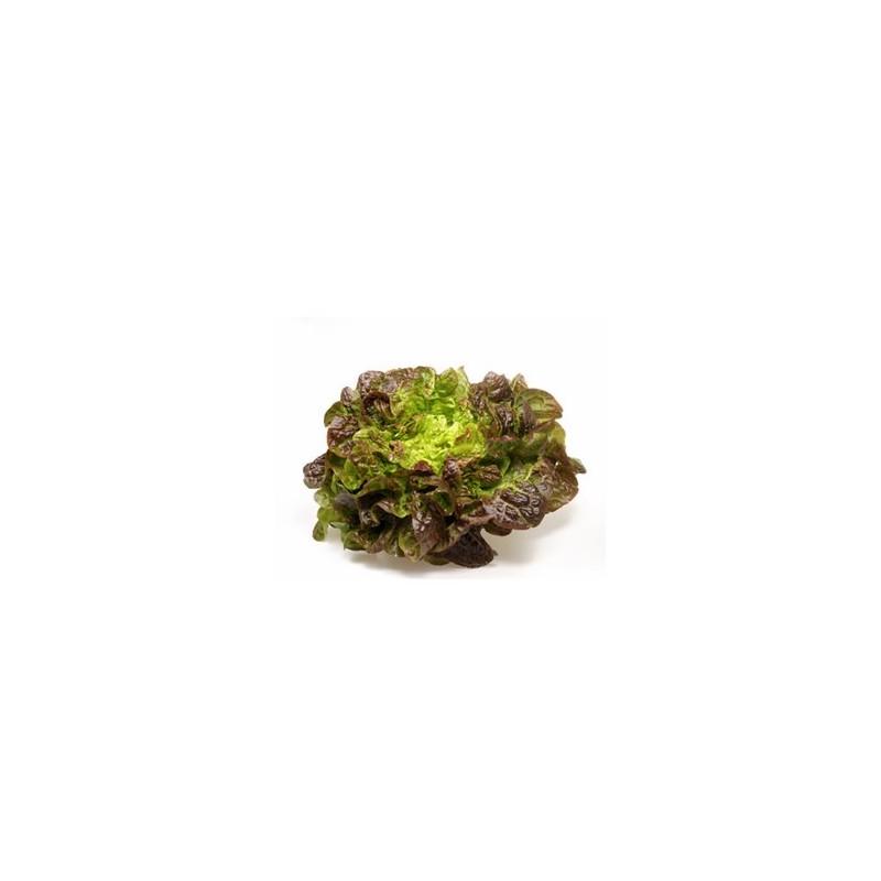 Salades, herbes aromatiques-Batavia rouge biologique - la pièce-RONAN LE GALL