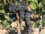 Fraises, raisin-raisin noir Muscat A.O.C- les 500 g-SUBERY NON BIO