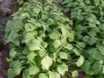 Herbes aromatiques et aide culinaire-Pourpier bio - botte-RONAN LE GALL
