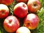 Pommes, poires et kiwis-Pomme Biologique - Saturne au kg-VERGERS DE L'ILLE